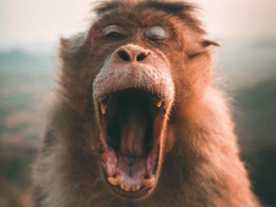 brown-monkey OPTIMIZED